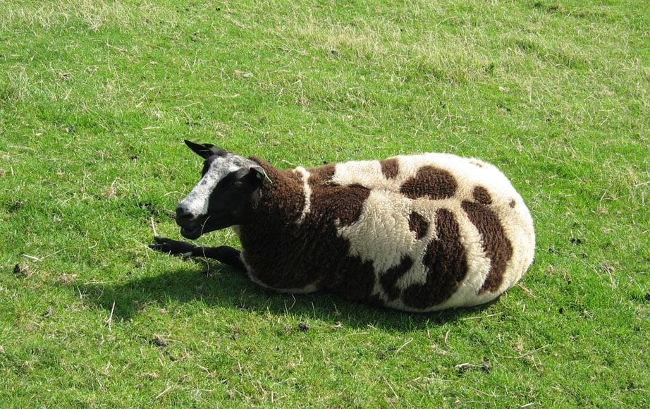 Les moutons en Hollande